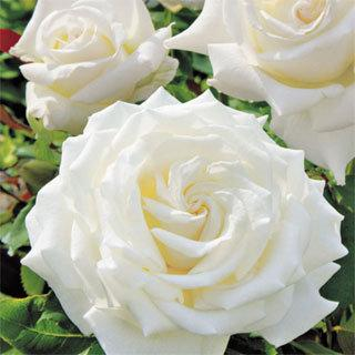 Pope John Paul II 24-inch Tree Rose