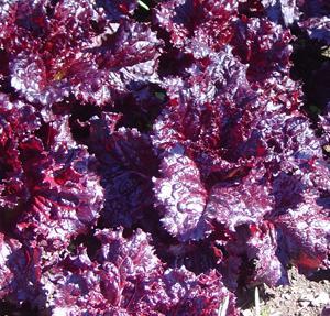 Lettuce, Merlot, looseleaf