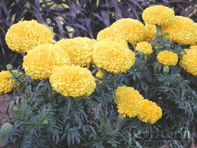 Marigold Moonstruck Yellow