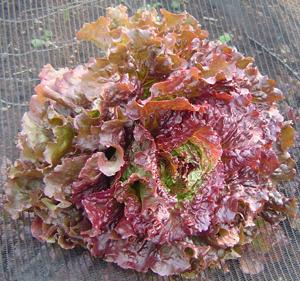 Lettuce, Red Sails, Looseleaf