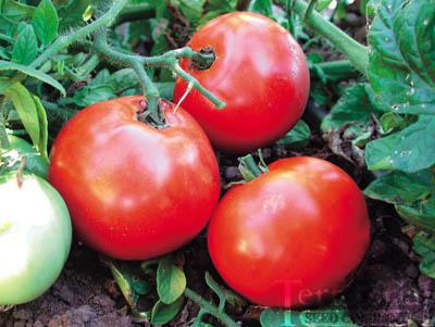 Siletz Tomato Conventional & Organic