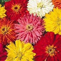Cactus-Flowered Zinnias