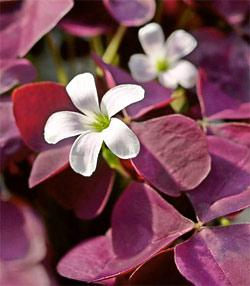 SOLD OUT Regnelli var. triangularis Oxalis - 25 bulbs