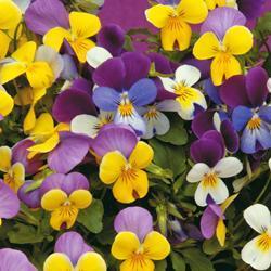 Viola x williamsiana 'Sweeties'