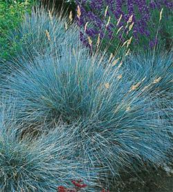 SOLD OUT Elijah Blue Fescue Grass - 3 plugs