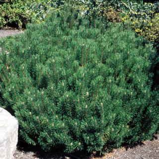 Slowmound Pinus Dwarf Mugo Pine Tree