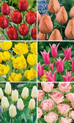 SOLD OUT Fragrant Tulip Collection - 60 bulbs