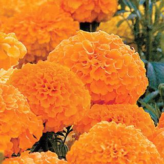 Marigold Park's Whopper Orange