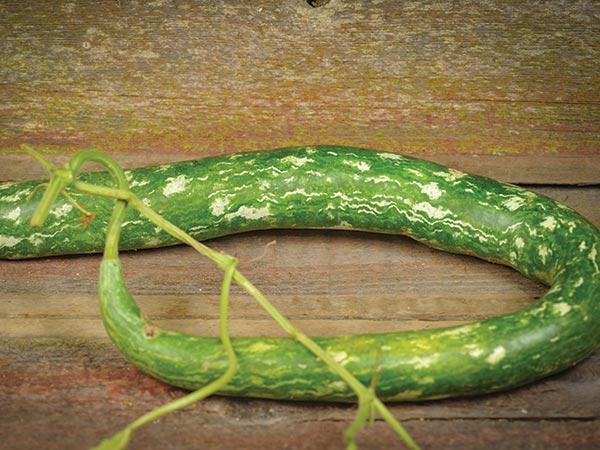 Speckled Snake Gourd