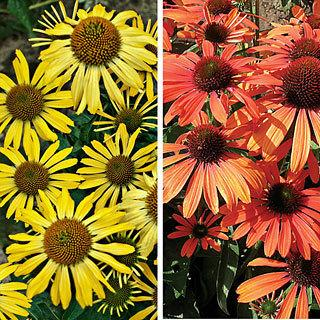Butterfly Kisses Echinacea Coneflower Plant Collection