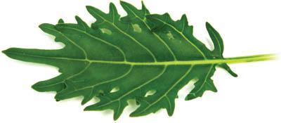 Fizz Kale