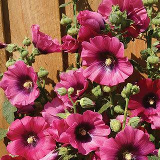 Halo Cerise Alcea rosea Hollyhock Plant