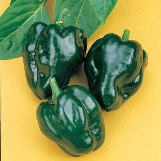 Pepper Ancho 101