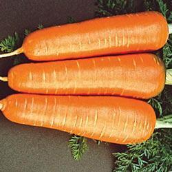 Kuroda Carrots