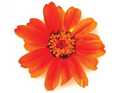 Zinnia-Profusion Orange