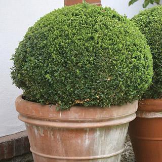 Sprinter™ Buxus microphylla Boxwood Shrub