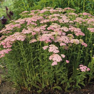 Pretty Belinda Achillea Plant
