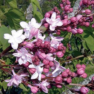 Sweetheart Syringa hyacinthiflora Lilac Shrub