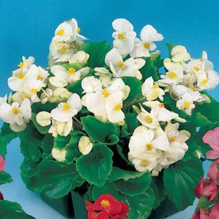 Begonia Pizzazz White Hybrid