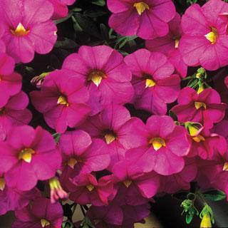 Calibrachoa MiniFamous™ Pink