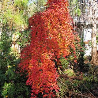 Shindeshojo Acer Palmatum Japanese Maple Tree Reviews
