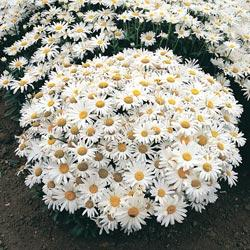 Chrysanthemum maximum 'Northern Lights'
