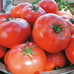 Tomato Legend F1 Hybrid (Bush/Determinate)