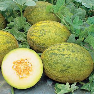 Melon Lambkin Hybrid