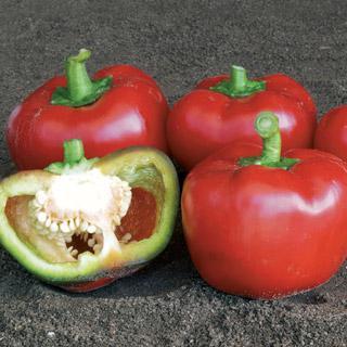 Pepper Topepo Rosso Hybrid
