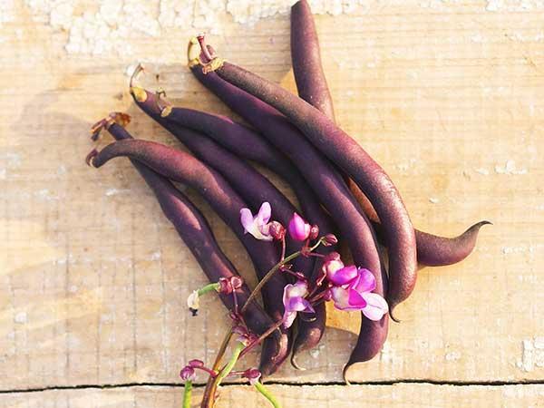 Purple Dove Bush Bean