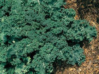 Kale Winterbor Hybrid