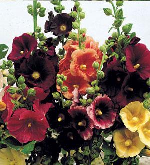 Old Barnyard Mix Alcea rosea Hollyhock Plant