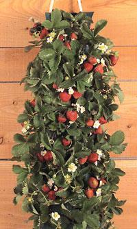 Strawberry Vertical Garden