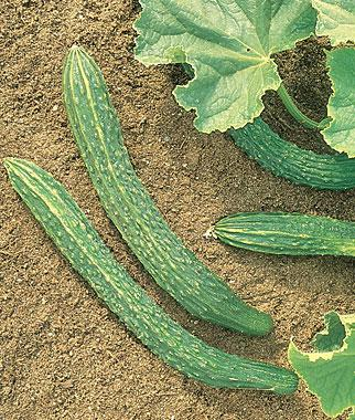 Cucumber, Palace King Hybrid