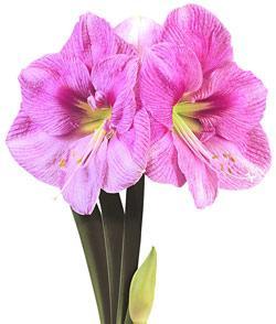 Blushing Bride® Symphony Amaryllis  - 1 bulb
