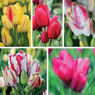 Candy Club Tulip Bulb Collection