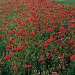 Wild Flanders Poppy Papaver rhoeas 'Flanders'