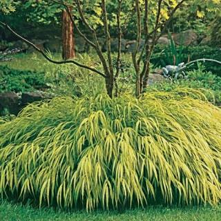 Nicolas hakonechloa macra hakone grass plant reviews for Tall ornamental grasses that grow in shade