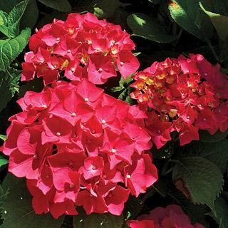 Hydrangea Red Sensation