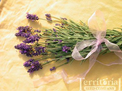 Lavender-Ellagance Purple