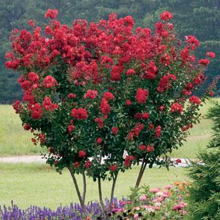 Red Rocket® Crape Myrtle Crapemyrtle Tree