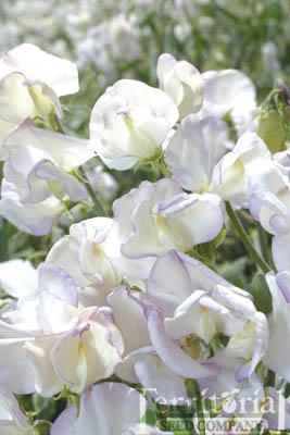Sweet Pea-King's High Scent