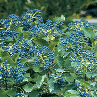 Blue Muffin Viburnum Arrowwood Viburnum Shrub