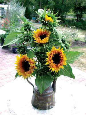 Sunflower-Starburst Panache
