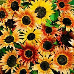 Sunflower a. 'Pastiche'