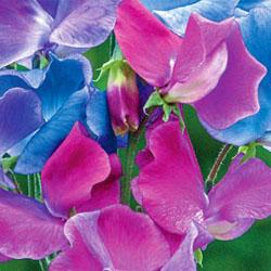 Sweet Pea odoratus 'Blue Shift'