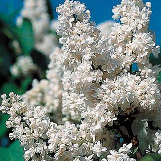 Fiala Remembrance Syringa vulgaris Lilac Shrub