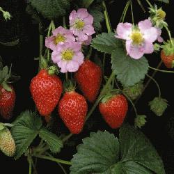 Strawberry Florian F1 Hybrid
