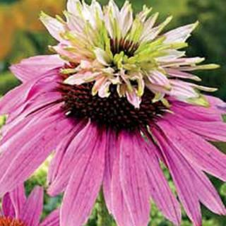Double Decker Coneflower