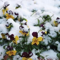 Viola cornuta 'Endurio Mixed' F1 Hybrid